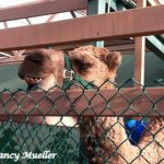 Curly (the Extremely Curious) Camel at Seattle's Swansons Nursery
