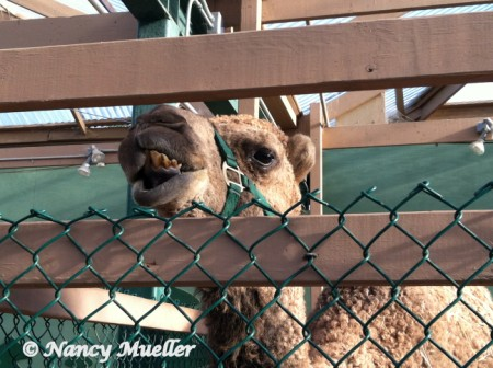 Swansons Curly the Camel